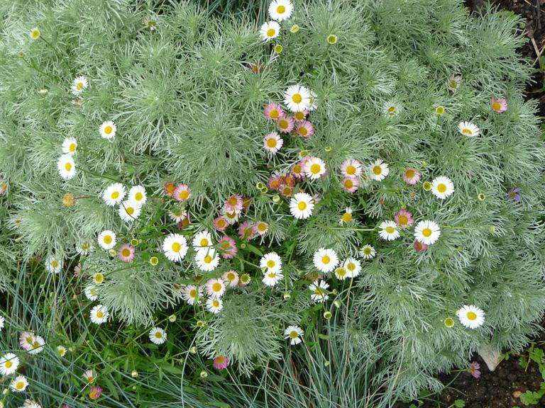 Tapis de vergerettes (Erigeron karvinskianus) et d'armoise (Artemisia schmidtiana 'Nana'), Parc floral de Paris, Paris 12e (75)