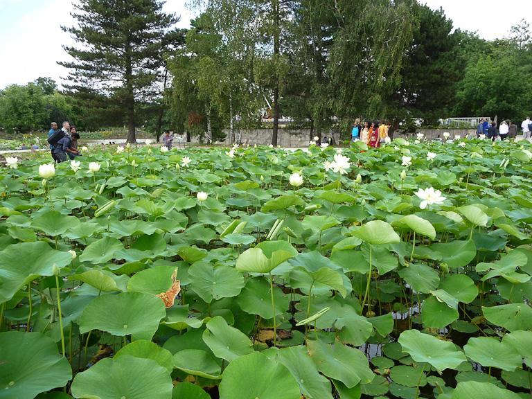 Lotus sacré (Nelumbo nucifera), Parc floral de Paris, Paris 12e (75)