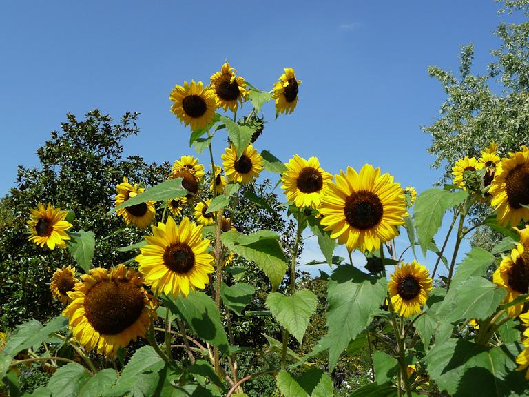 Tournesols sous le soleil, Parc floral de Paris en été, Paris 12e (75)