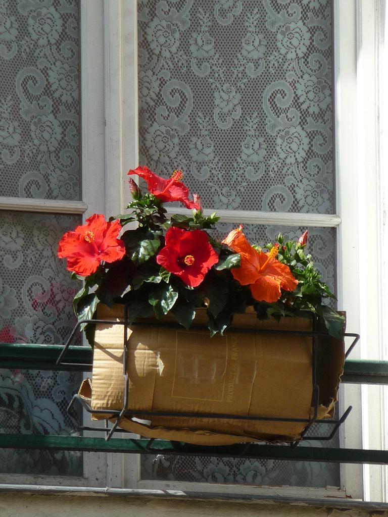 Jardinière d'hibiscus (Hibiscus x rosa-sinensis) à une fenêtre dans la rue des Oiseaux, Paris 3e (75)