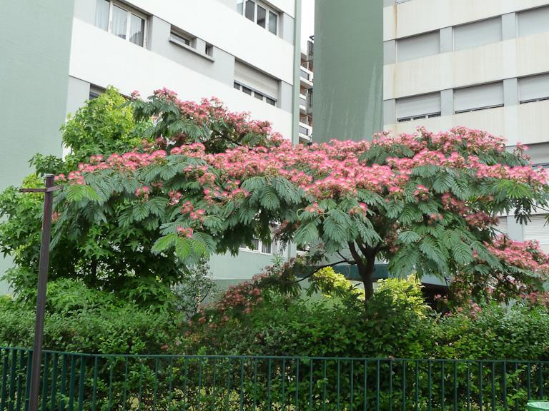 Arbre à soie (Albizia julibrissin) en fleur dans la rue de Thionville, Paris 19e (75)