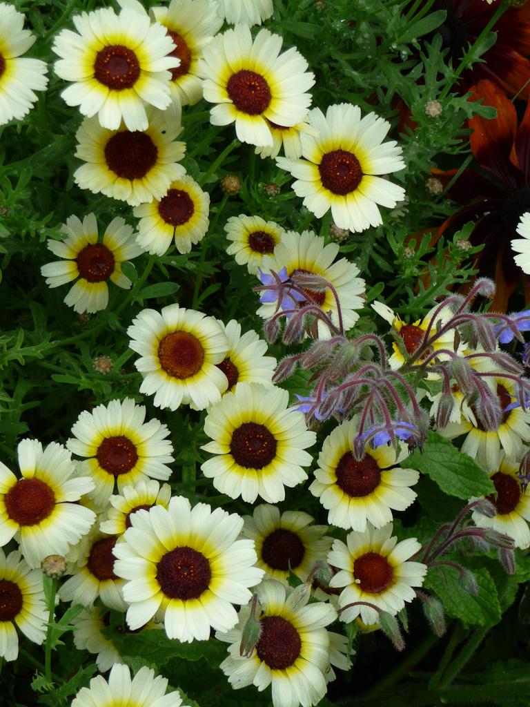 Chrysanthème à carène (Chrysanthemum coronarium) et bourrache (Borago officinalis), cimetière du Père Lachaise en été