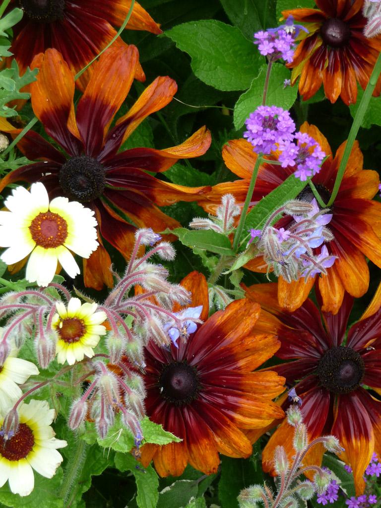 Chrysanthème à carène, rudbeckia, bourrache et verveine rugueuse, cimetière du Père Lachaise en été