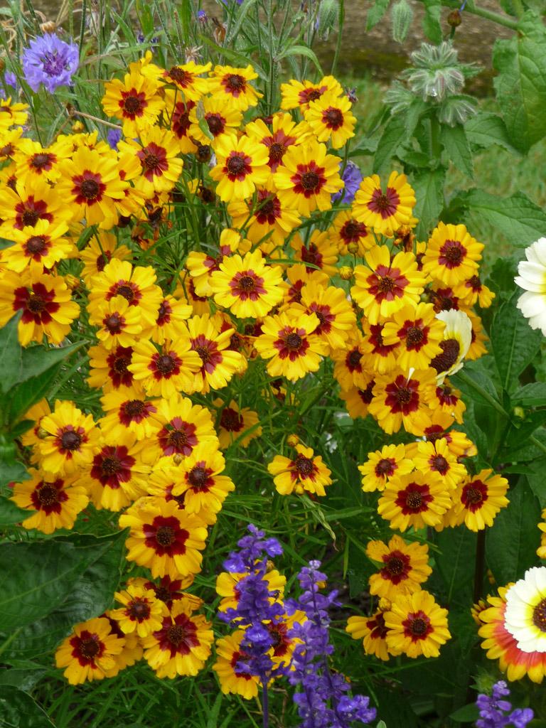 Coréopsis et sauge farineuse, cimetière du Père Lachaise en été