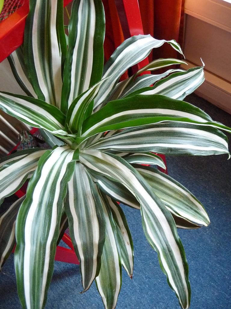 Dracaena fragrans '€˜White Stripe'€™, plante d'intérieur