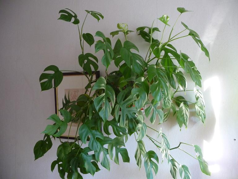 Rhaphidophora tetrasperma, Aracées, plante d'intérieur