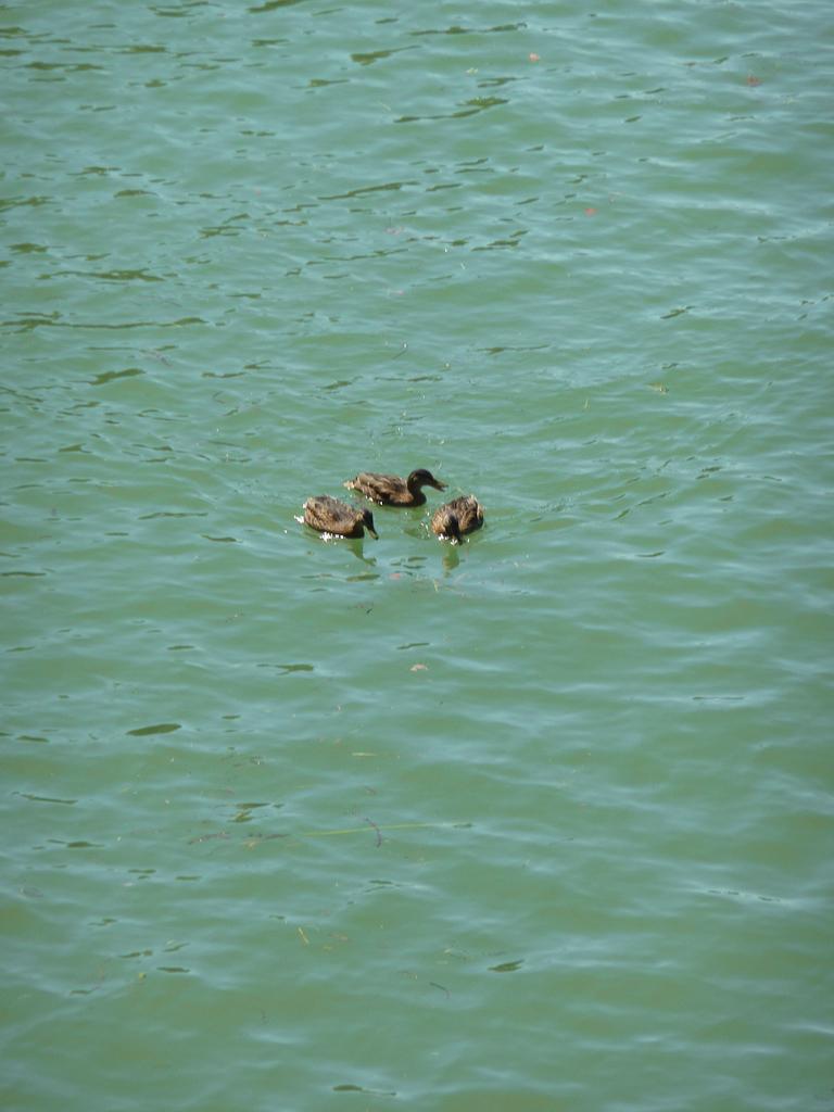 Canards sur le Bassin de la Villette en été pendant Paris Plages, Paris 19e (75)