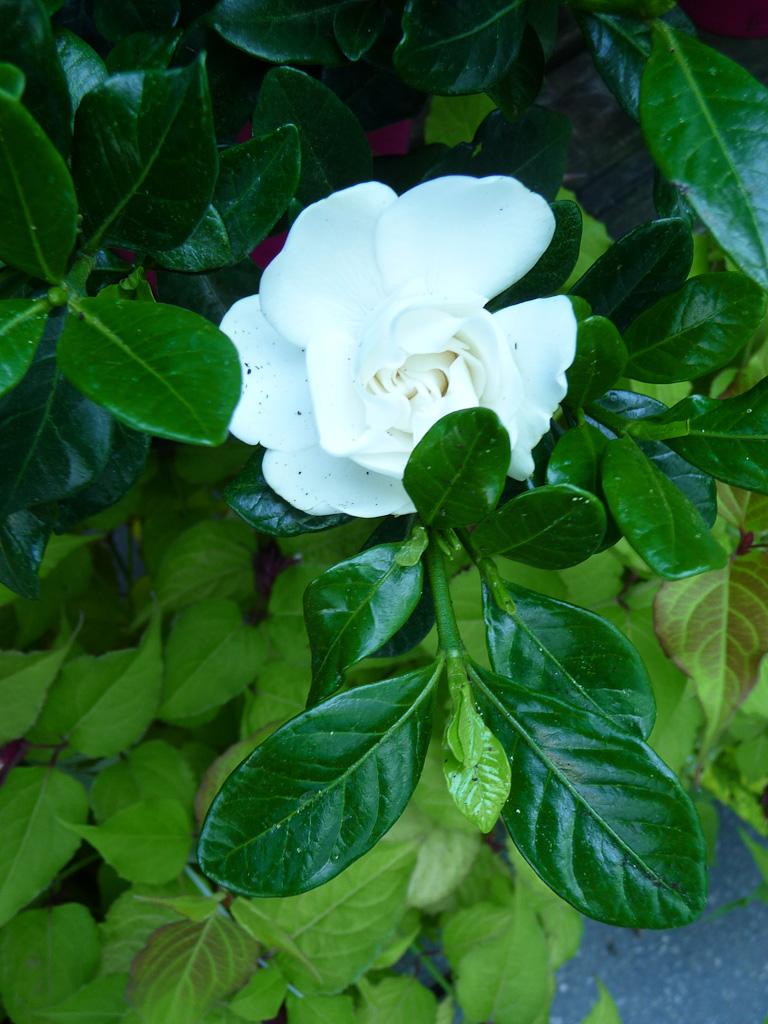 Gardenia augusta 'Crown Jewel', gardénia rustique, Truffaut Ivry-sur-Seine (94)