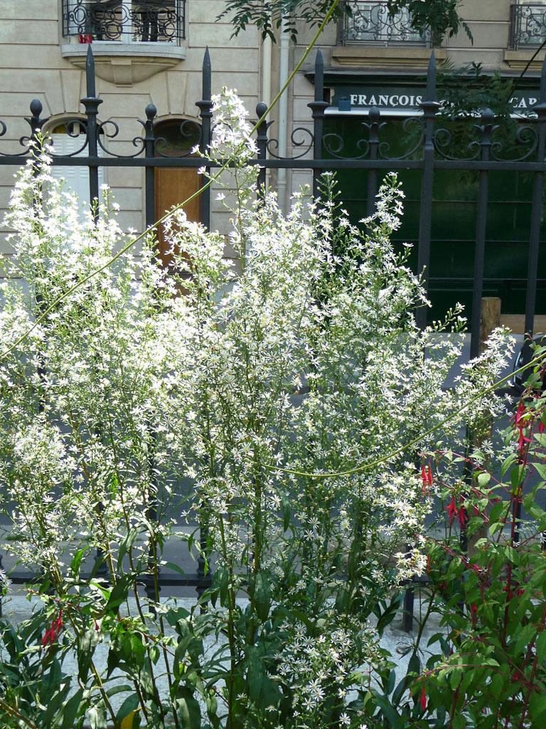 Aster à petites fleurs, jardin de la Promenade Pereire en été, Paris 17e (75)