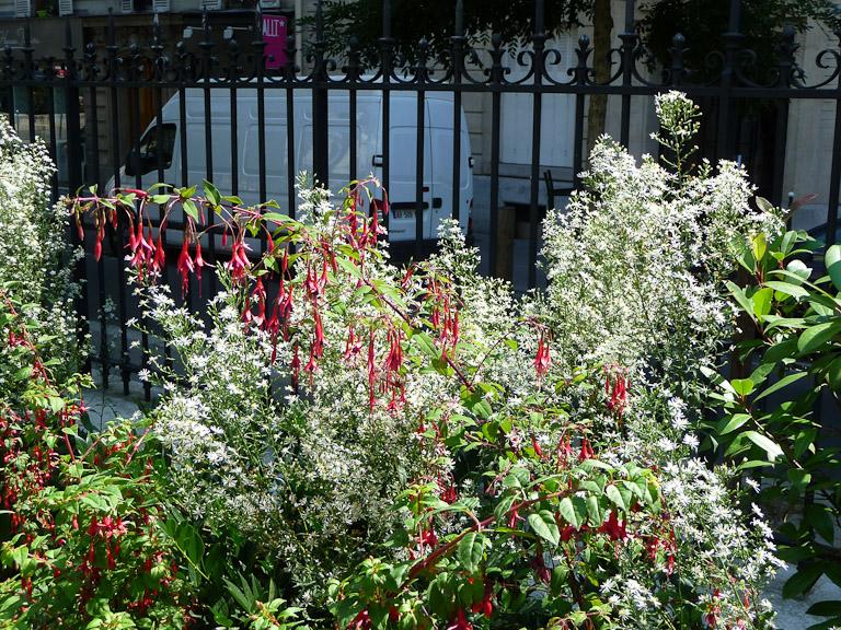 Fuschia magellanica et aster à petites fleurs, jardin de la Promenade Pereire en été, Paris 17e (75)