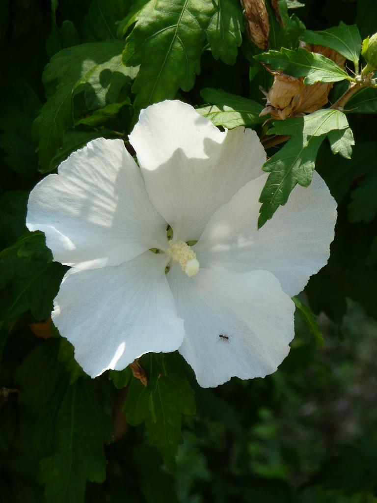 Althéa à fleurs blanches (Hibiscus syriacus), La Défense, Hauts-de-Seine