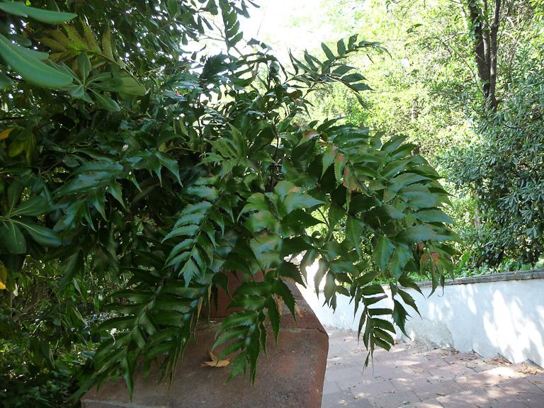 Fougère houx (Cyrtomium falcatum), jardin sur le Montjuic, Barcelone en été, Espagne