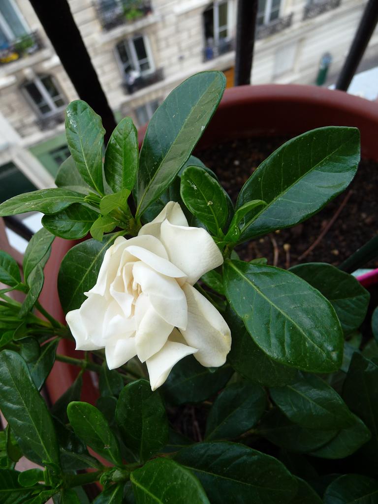 Fleur du Gardenia augusta 'Crown Jewel' sur mon balcon en été, Paris 19e (75)