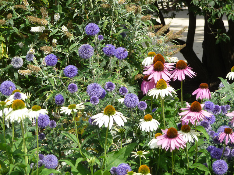 Echinops ritro 'Veitch's Blue' et Echinacea purpurea, grande perspective du Jardin des Plantes de Paris en été, Paris 5e (75)
