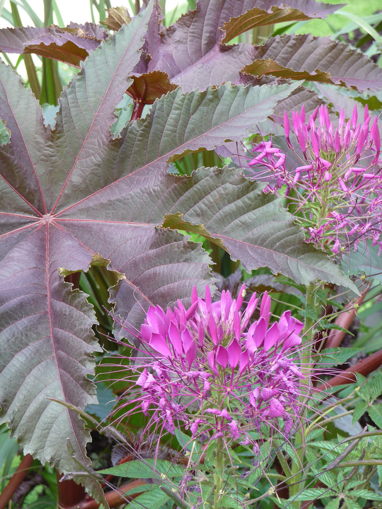 Cléome violet pourpre et grand ricin pourpre, grande perspective du Jardin des Plantes de Paris en été, Paris 5e (75)