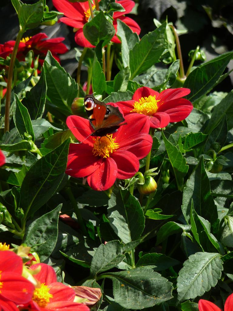 Papillon butinant sur une fleur simple de dahlia en été, Ets Ernest Turc (49)