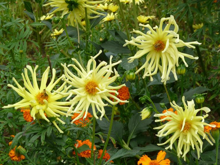 Dahlia cactus 'Monte Carlo', décorations florales estivales, parc des Buttes-Chaumont, Paris 19e (75)