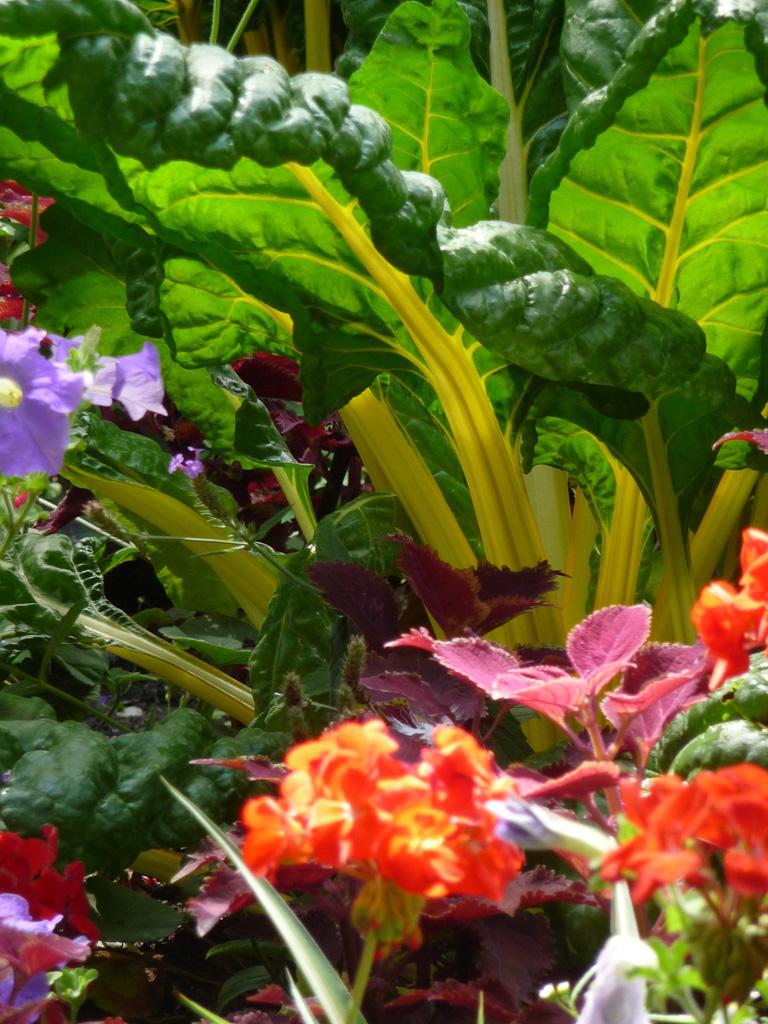 Bette à cardes jaunes, décorations florales estivales, jardin du Luxembourg, Paris 6e (75)