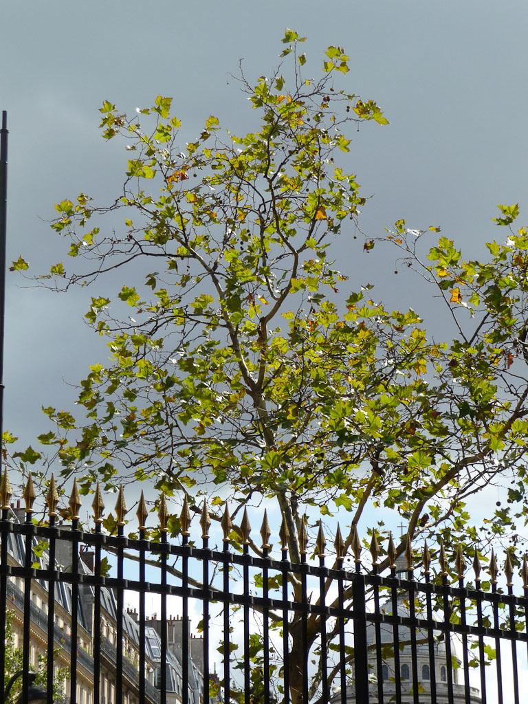 Platane défeuillé près du jardin du Luxembourg, Paris 6e (75)
