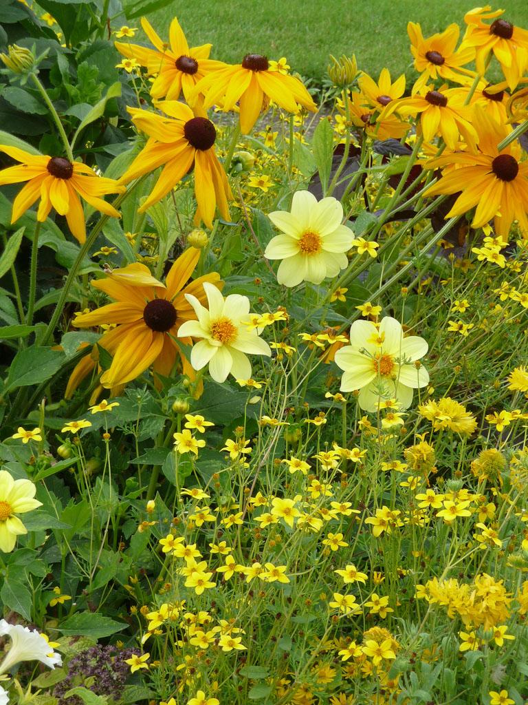 Dahlia, rudbeckia et bidens, décorations florales estivales, jardin du Luxembourg, Paris 6e (75)