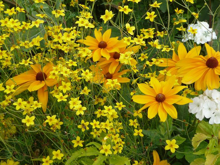 Bidens et rudbeckia, décorations florales estivales, jardin du Luxembourg, Paris 6e (75)