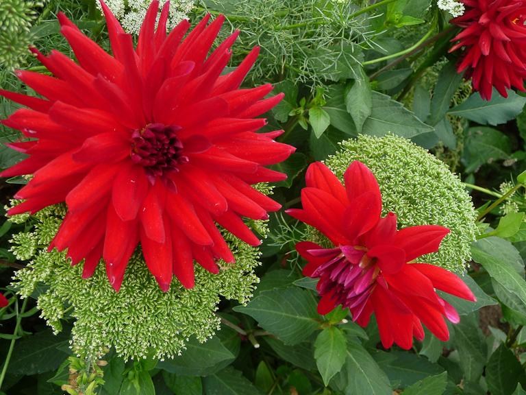 Ammi visnaga et dahlia cactus à fleurs rouges, Jardin des Serres d'Auteuil, Paris 16e (75)