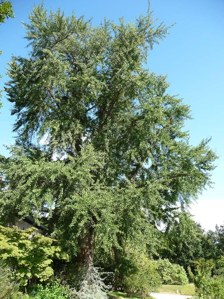 Ginkgo biloba dans le Jardin des Serres d'Auteuil, Paris 16e (75)