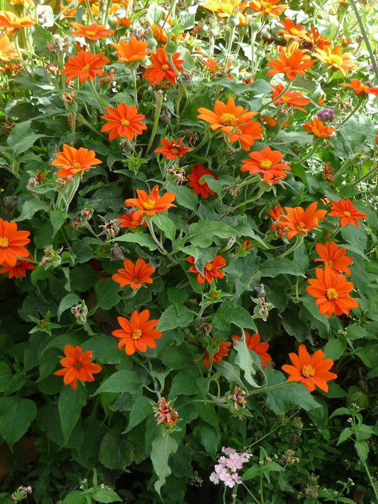 Tithonia rotundifolia 'Fiesta del Sol', Jardin des Plantes (Muséum national d'Histoire Naturelle), Paris 5e (75)