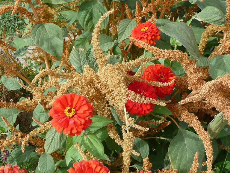 Amarante 'Hot Biscuit' et zinnia 'Sun Red', Jardin des Plantes (Muséum national d'Histoire Naturelle), Paris 5e (75)