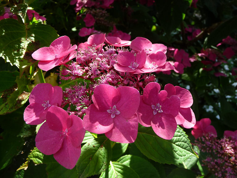 Hortensia 'Buchfink', Parc floral de Paris, Paris 12e (75)
