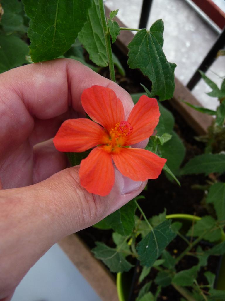 Pavonia 'Miskii', Malvacées, plante exotique, sur mon balcon, Paris 19e (75)