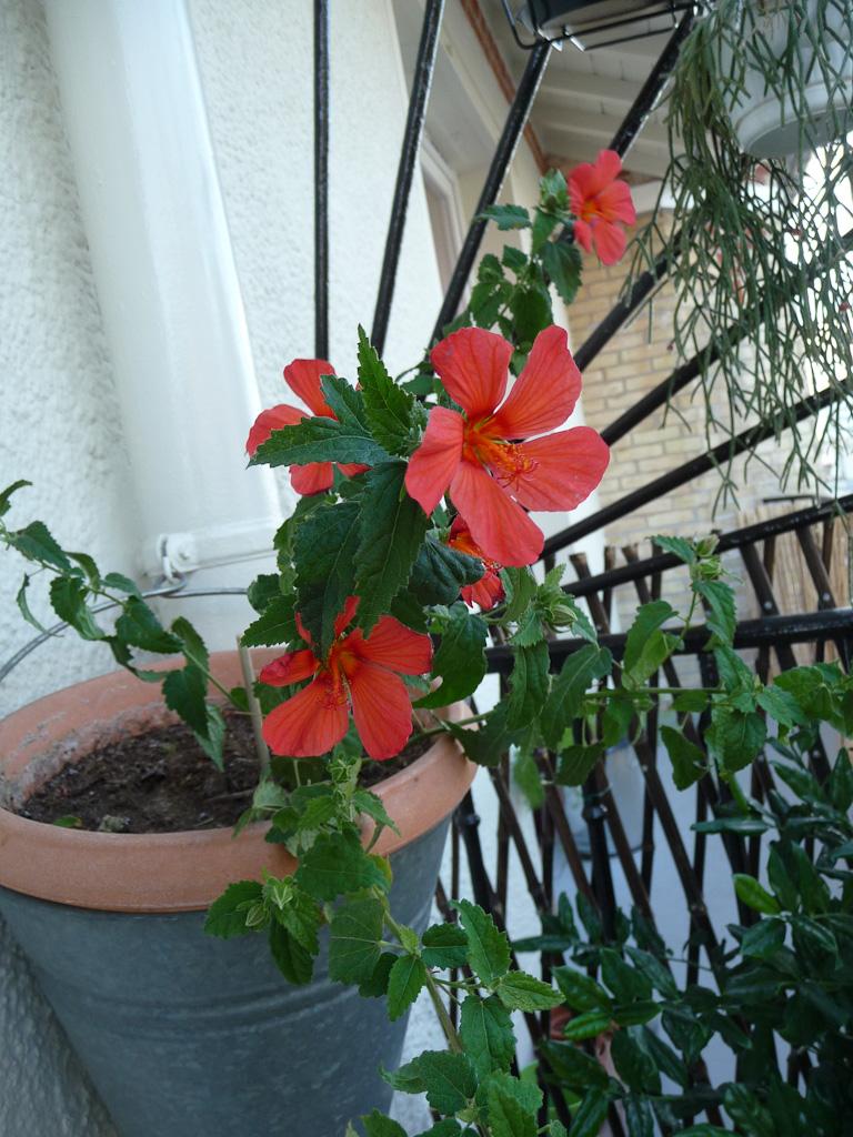 Pavonia 'Miskii' (Malvacées) sur mon balcon, Paris 19e (75)