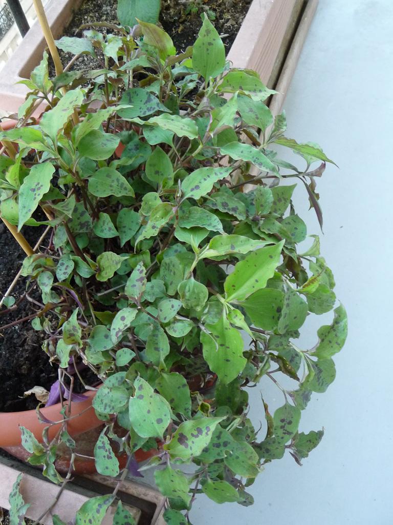 Tinantia pringlei (Commellinacées) sur mon balcon, Paris 19e (75)