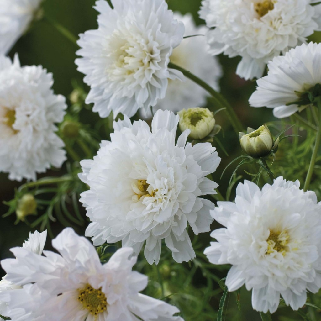 Cosmos bipinnatus 'Double Click', Thompson & Morgan