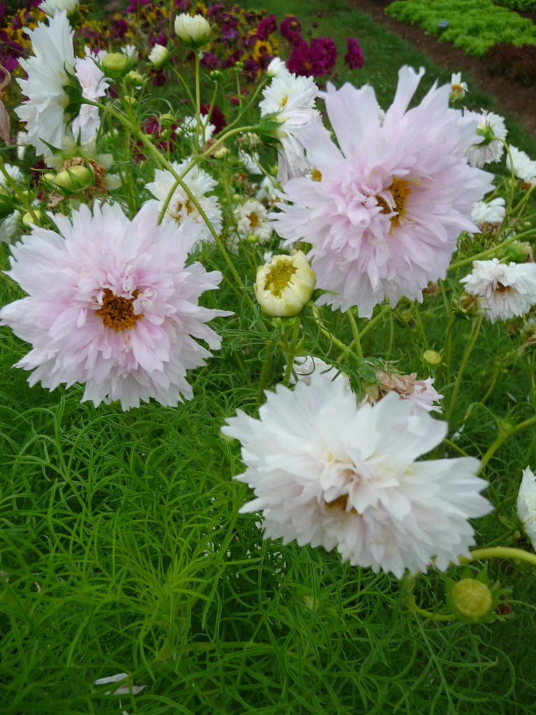 Cosmos bipinnatus 'Double Click', Domaine de Maninet, Valence (Drôme), Clause Vegetable Seeds et Oxadis