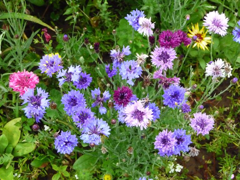 Centaurée barbeau, Domaine de Maninet, Valence (Drôme), Clause Vegetable Seeds et Oxadis