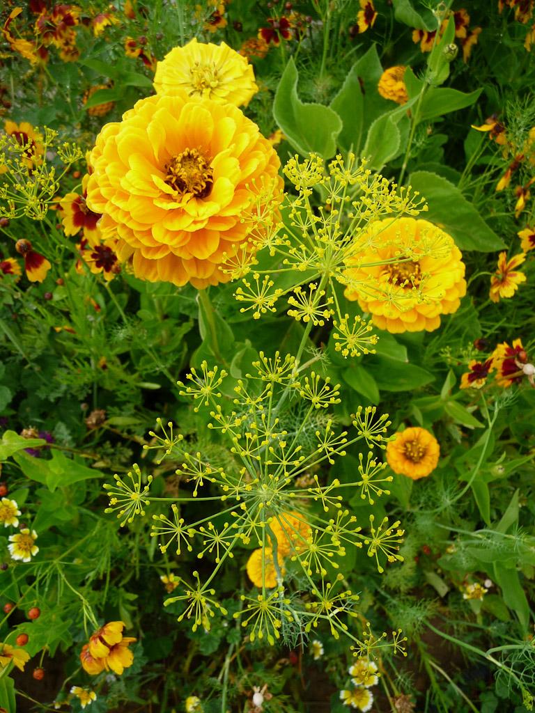 Zinnia et aneth, massif d'été, Domaine de Maninet, Valence (Drôme), Clause Vegetable Seeds et Oxadis
