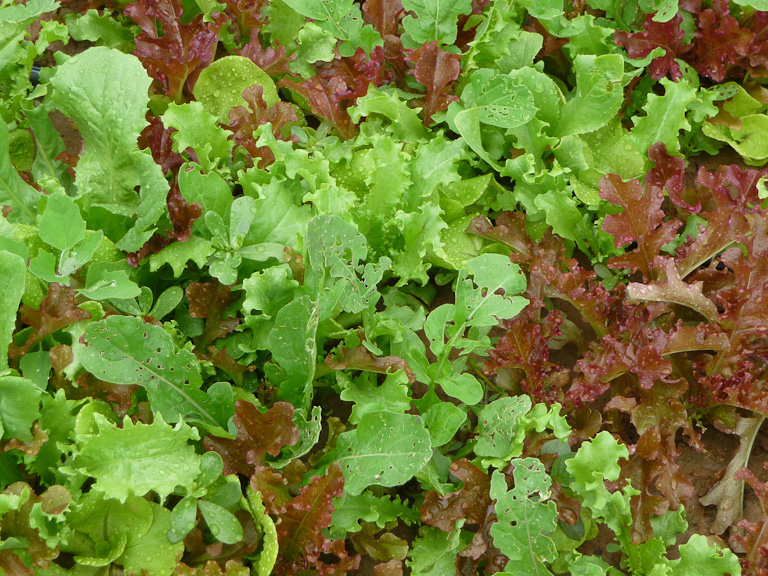 Mesclun, Clause Vegetable Seeds et Oxadis
