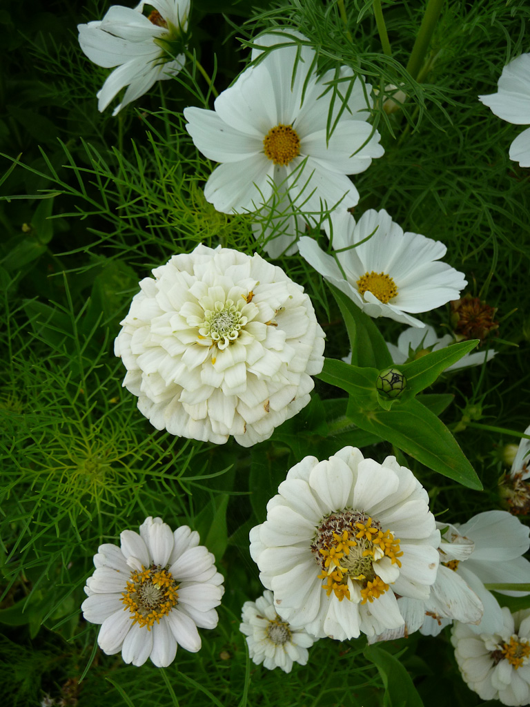 Zinnia et cosmos blancs, Domaine de Maninet, Valence (Drôme), Clause Vegetable Seeds et Oxadis
