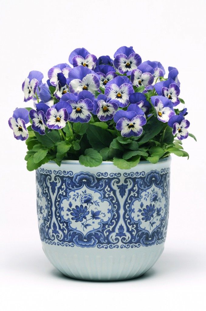 Viola cornuta Sorbet Xp 'Delft Blue', photo Jardin Express