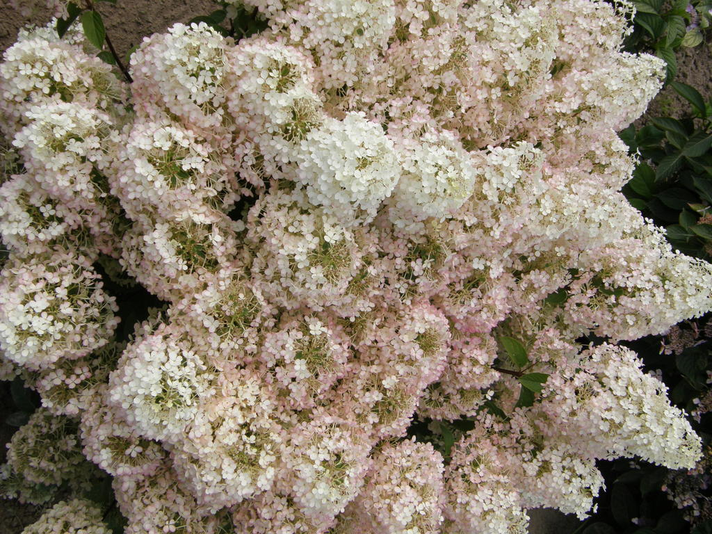 Hydrangea paniculata 'Bobo', Saxifragacées, Proven Winners