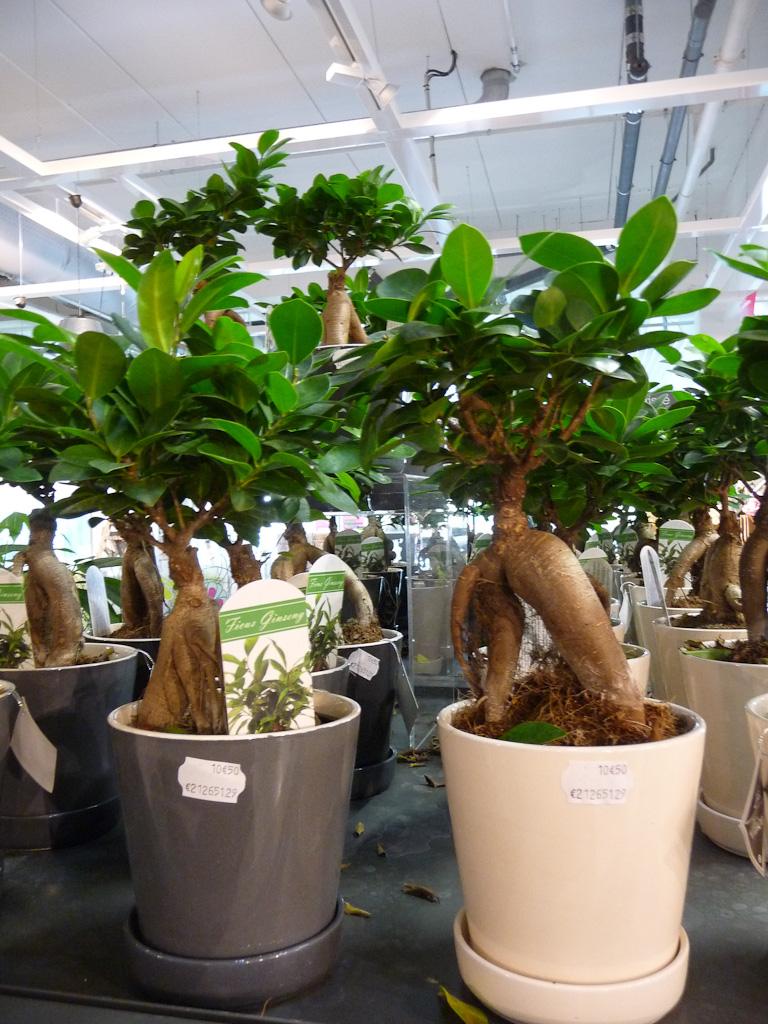 Ficus Ginseng, magasin Alinéa, centre commercial Alpha Park II, Les Clayes-sous-Bois (78)