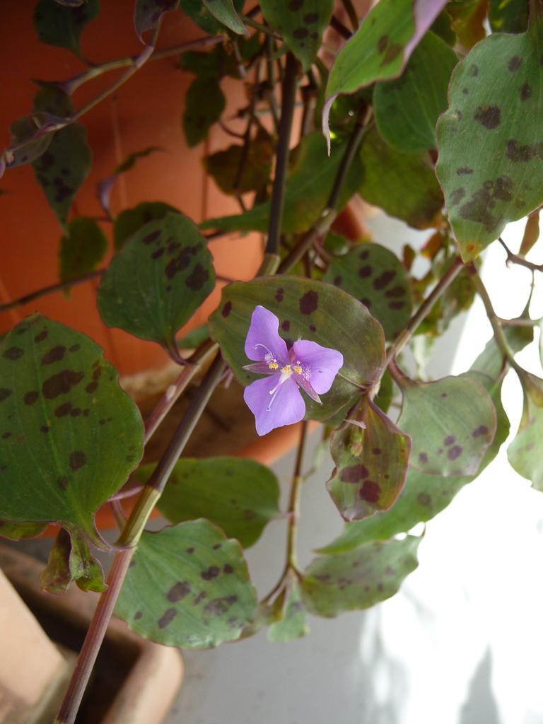 Fleur de Tinantia pringlei sur mon balcon, Paris 19e (75)