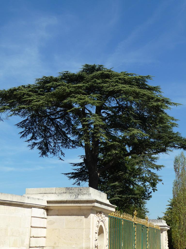 Cèdre du Liban, Petit Trianon, Domaine de Versailles, Yvelines