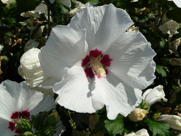 Althéa (Hibiscus syriacus), Promenade Pereire en été, Paris 17e (75)