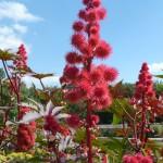 Fleurs et fruits de ricin dans la Vallée des fleurs du Parc Floral de Paris, Paris 12e (75)