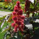 Fruits de ricin dans la Vallée des fleurs du Parc Floral de Paris, Paris 12e (75)