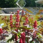 Gros pieds de ricins fleuris dans la Vallée des fleurs du Parc Floral de Paris, Paris 12e (75)