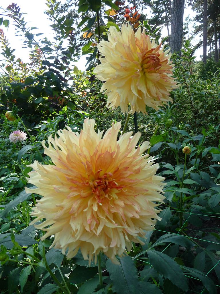 Dahlia 'Orange Plume', Parc Floral de Paris, Paris 12e (75)