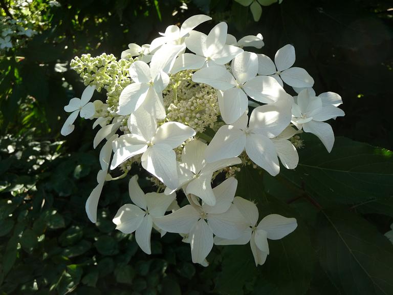 Hydrangea paniculata 'Kyushu', Parc Floral de Paris, Paris 12e (75)